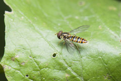 Syrphidae Stockbilder