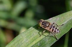 Syrphidae-Augenstellen Stockfotografie