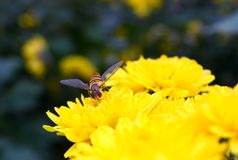 Syrphidae and chrysanthemums Stock Images