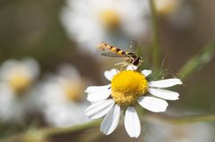 Syrphidae collecting nectar from a chamomile flower. Hover fly mimic wasp collecting nectar from a yellow flower Stock Photo