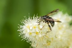 Syrphidae fly gathering pollen on some white flowers. Syrphidae fly gathering pollen on some white and yellow flowers stock photography