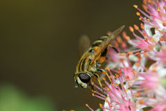 Syrphidae Stock Photos