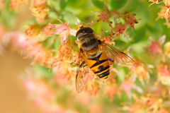Syrphidae Royalty Free Stock Photos