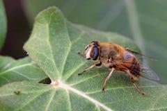 Syrphidae Royalty Free Stock Photo