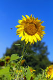 Syrphidae and grasshopper on a sunflower Royalty Free Stock Photography