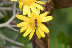 Syrphidae Hoverfly insect on yellow daisy flower, close up stock photo