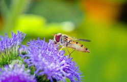 Syrphidae, hoverfly, Syrphe in sleeve of air, tasting of pollen Royalty Free Stock Images