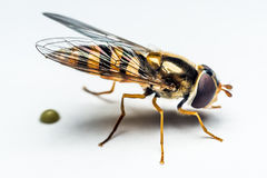 Syrphidae insect macro Royalty Free Stock Photos