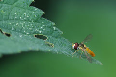 syrphidae insects Stock Photography