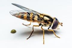 Syrphidae insekt makro- Zdjęcia Royalty Free