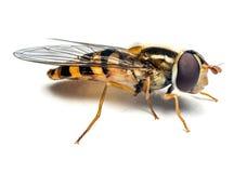 Syrphidae insekt makro- Zdjęcie Royalty Free
