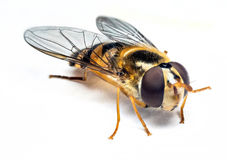 Syrphidae insekt makro- Zdjęcia Stock