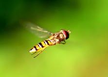 Syrphidae Stock Image