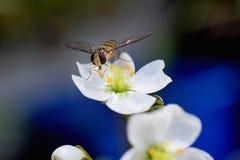 Syrphus, пчела, balteatus Episyrphus стоковые изображения rf