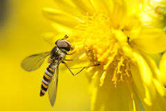 Syrphus fly Stock Images