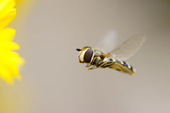 Syrphus fly Stock Photography