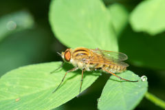 Syrphus fly Royalty Free Stock Photography