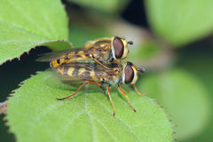 Syrphus fly Stock Image