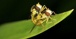 Syrphus ribesii hoverfly couple Royalty Free Stock Image