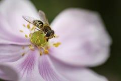Syrphus Ribesii Hoverfly som sätta sig på en blomma royaltyfri foto