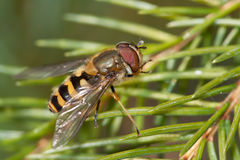 Syrphus species. A species of Syrphus, hoverfly, photographed in nature royalty free stock image