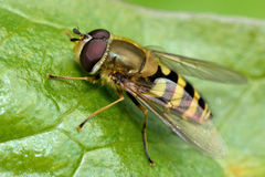Syrphus vitripennis hoverfly Stock Image