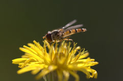 Syrphyd-Fliege auf der Blume lizenzfreie stockfotografie