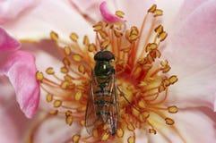 Syrphyd komarnica na kwiacie obraz stock