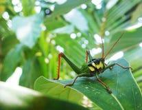 Syrsa - gräshoppa Arkivbild