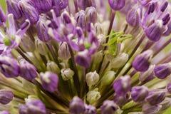 Syrsa på blomman Fotografering för Bildbyråer