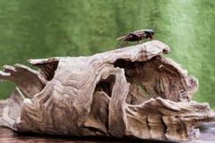 Syrsa på wood textur Royaltyfri Foto