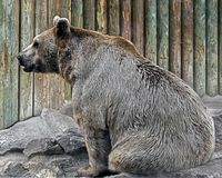 syryjczyk brown bear Obrazy Stock