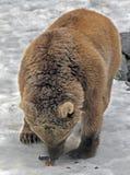 syryjczyk brown bear Zdjęcie Stock
