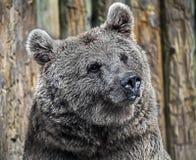 Syryjska niedźwiedź brunatny głowa zdjęcie stock