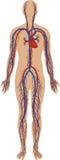 Système circulatoire illustration stock