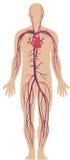 Système circulatoire Photos libres de droits