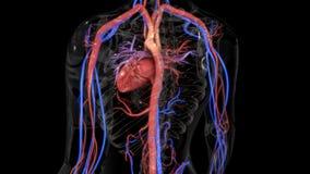 Système circulatoire photo stock
