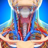 Circulatoire et système nerveux de gorge illustration libre de droits