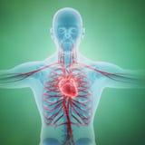 Système circulatoire humain Images libres de droits