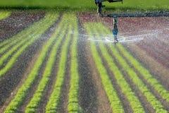Système d'arrosage et d'irrigation, irrigation moderne dans un domaine de salade Images libres de droits