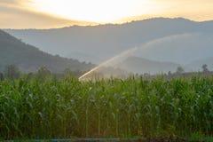 Système d'irrigation arrosant le jeune champ de maïs vert dans le jardin agricole par sauteur de l'eau au coucher du soleil images stock