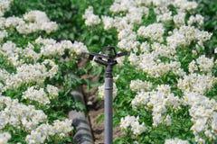 Système d'irrigation avec les plantes de pomme de terre fleurissantes Photographie stock libre de droits