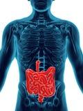 Système digestif Image libre de droits