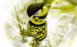 Système digestif humain Photo libre de droits