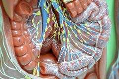 système lymphatique photographie stock