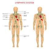 Système lymphatique, illustration libre de droits