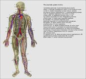 Système lymphatique humain Photos libres de droits