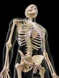 Système lymphatique humain Image libre de droits