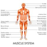 Système musculaire illustration stock