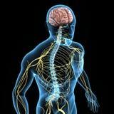 Système nerveux illustration libre de droits